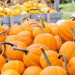 Pumpkin picking in Amherst, MA area